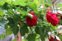 Rosenbusch im Hofbereich